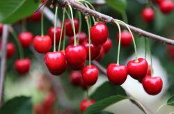 吃樱桃有什么好处 樱桃的美味食疗方法推荐